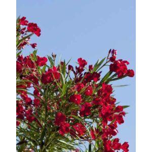 Nerium oleander 'Hardy Red' - Télálló piros leander