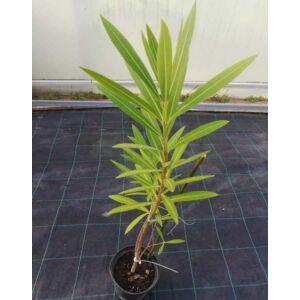 Nerium oleander 'Helia' - Rózsaszín, féltelt lélálló leander