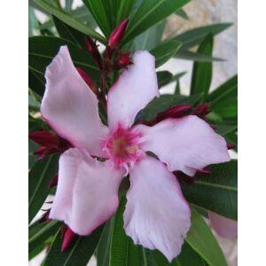 Nerium oleander 'Villa Romanie' - Télálló rózsaszín leander