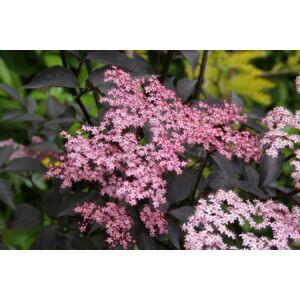 Sambucus nigra 'Black Beauty' - Vöröslombú bodza