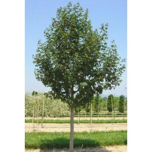 Acer campestre 'Queen Elizabeth' -  'Queen Elizabeth' mezei juhar (extra méretű koros)