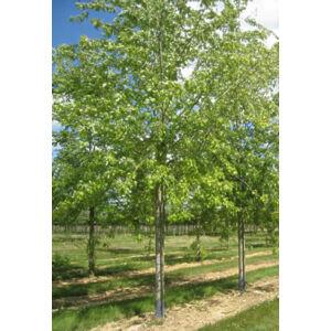 Acer saccharinum 'Laciniatum Wieri' -  'Laciniatum Wieri' ezüst juhar
