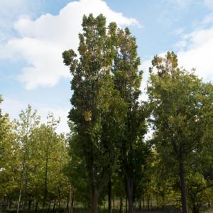 Koelreuteria paniculata 'Fastigiata' - Oszlopos csörgőfa