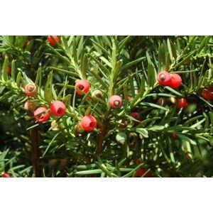 Taxus baccata - Tiszafa