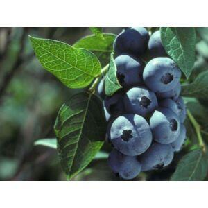 Vaccinium corymbosum 'Elisabeth' - Kék áfonya