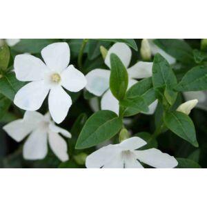 Vinca minor 'Alba' - Fehér virágú kis télizöld