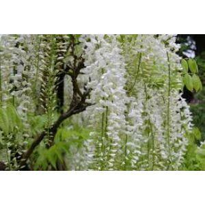 Wisteria floribunda 'Alba' - Lilaakác (fehér)