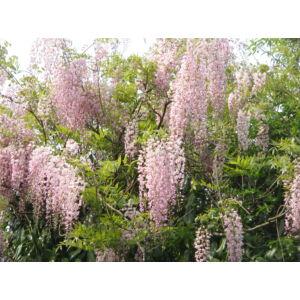 Wisteria floribunda 'Rosea'- Lilaakác (rózsaszín)