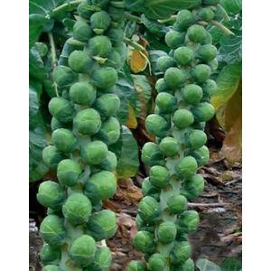 Brassica - Kelbimbó