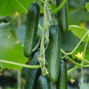 Cucumber 'Picolimo' F1 - Mini uborka (ámpolna)