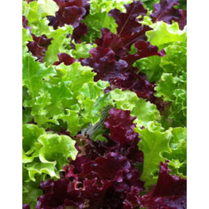 Lettuce mix - Tépő saláta mix