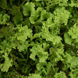 Salanova - Saláta mix, tálcás