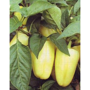 Capsicum 'Amy' – Paprika (édes)
