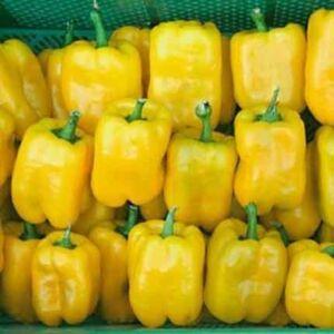 Capsicum 'Quadrato Giallo' – Oltott Bloky paprika (sárga)