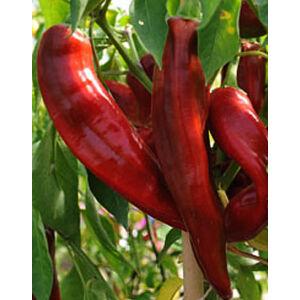 Capsicum 'Numex Big Jim' - Óriás chilli
