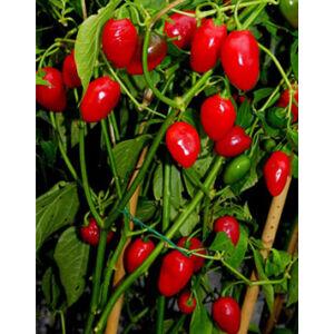 Capsicum 'Redskin' F1 - Paprika, piros
