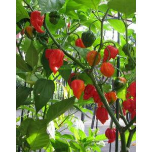 Capsicum chili 'Trinidad Scorpion' - Skorpió chili (extrém csípős)