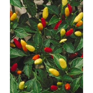 Capsicum 'Tabasco' - Tabasco paprika