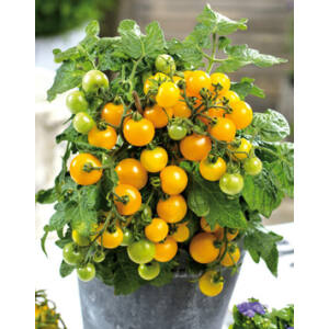 Lycopersicon 'Primagold / Primabell Yellow' - Koktélparadicsom, sárga