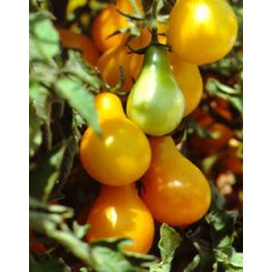 Lycopersicon 'Red + Yellow Pear' - Körte alakú koktél paradicsom