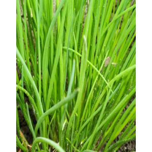 Allium 'Neko' - Kínai Metélőhagyma