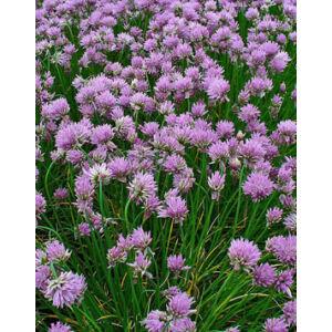 Allium 'Staro' - Metélőhagyma