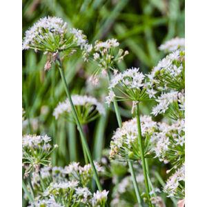 Allium tuberosum – Kínai metélőhagyma