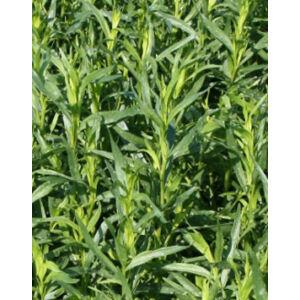 Artemisia 'Pfefferkorn' – Tárkony