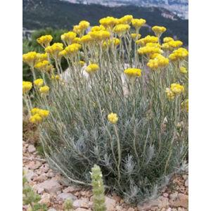 Helichrysum italicum – Olasz szalmagyopár (curryfű)