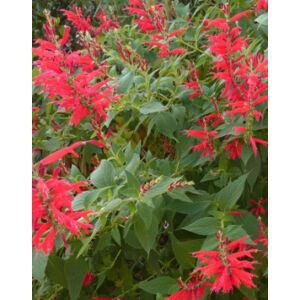 Salvia rutilans - Ananász zsálya