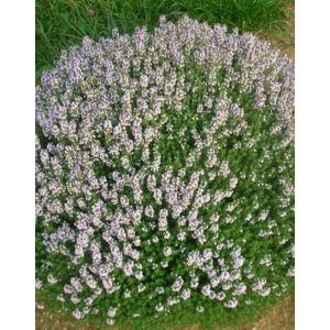 Thymus - Kakukkfű
