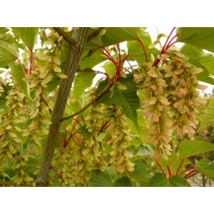 Acer capillipes - Parókás juhar