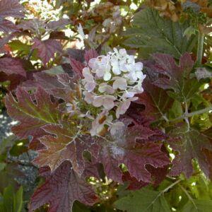 Hydrangea quercifolia 'Burgundy' - Tölgylevelű hortenzia