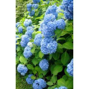 Hydrangea macrophylla 'Mama Blue' - Kerti hortenzia