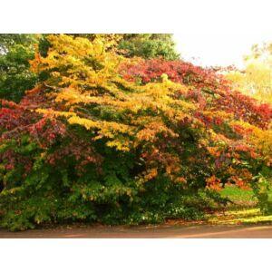 Parrotia persica 'Tűzmadár' - Perzsa varázsfa (extra méretű koros)