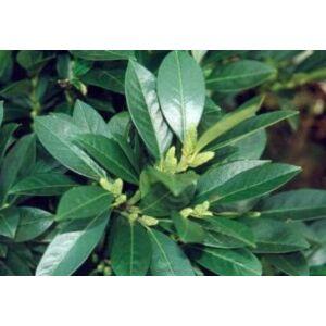 Prunus laurocerasus 'Van Nes' - Babérmeggy