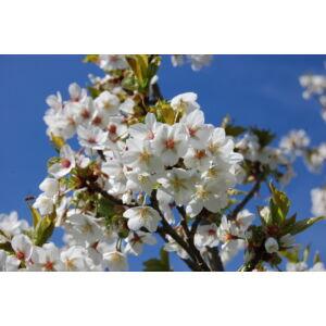 Prunus 'Umineko' - Japán díszmeggy