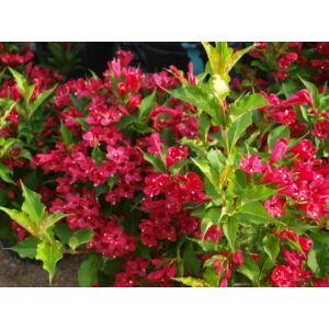 Weigela florida 'Red Prince' - Piros virágú rózsalonc