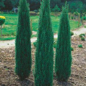 Juniperus communis 'Sentinel' - Oszlopos ír boróka