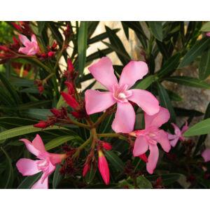 Nerium oleander 'Atlas Nain de Tidili' - Télálló rózsaszín leander