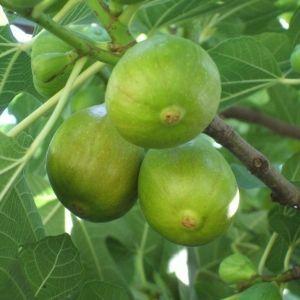 Ficus carica 'Zöld óriás' - Füge