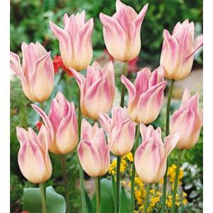 Liliomvirágú tulipán 'Elegant Lady'