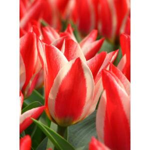 Greigii-tulipán 'Pinocchio'