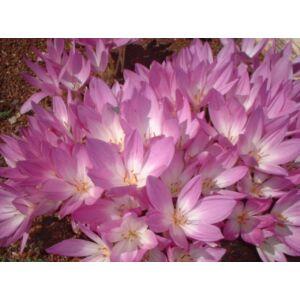 Colchicum 'Giant' -  Őszi kikerics