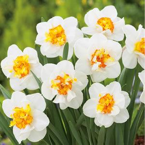Narcissus 'Flowerdrift' -  Nárcisz