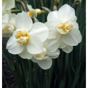 Narcissus 'Cheerfulness'-  Teltvirágú nárcisz
