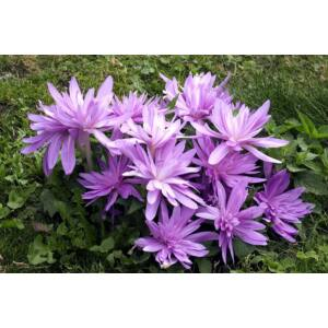 Colchicum 'Waterlily' -  Őszi kikerics