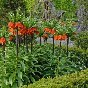 Fritillaria imperialis 'Rubra' - Császárkorona