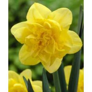 Narcissus 'Dick Wilden'-  Teltvirágú nárcisz