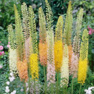 Eremurus stenyophyllus színkeverék- Korbácsliliom